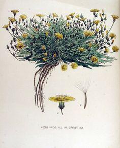 Crepisvirens(Hawk's Beard, aka garden weed). Flora Batava(Plants of the Netherlands, 1877), Vol. 15.