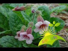 Herbal and Herb: 6 Công dụng quý hiếm từ cây sinh địa hoàng - Suc Khoe va Doi Song