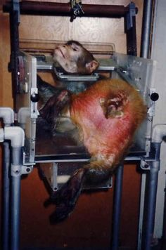 This monkey is being sexually abuse by men they are having sex with it!!!!!! This is why it is in that vice so they can abuse it. This is just sick. Just sick. What the hell is wrong with these people.