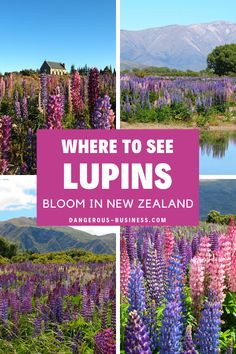 Here's everything you need to know about lupins in New Zealand, including where and when to go and how to see these beautiful blooms. New Zealand Destinations, New Zealand Travel, Travel Destinations, Lake Wanaka, Lake Tekapo, Best Travel Insurance, New Zealand South Island, Dream Vacations, Vacation List