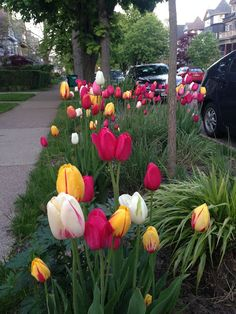 ArtofGardening.org: Well kiss my tulips hello!