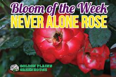 Never Alone Rose - Bloom of the Week at Golden Plains Greenhouses (Kleefeld, Manitoba) Never Alone, Blooming Rose, Greenhouses, White Roses, Green Houses, Glass House, Conservatory