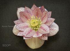 Hellebore Flower. - Hellebore flower.