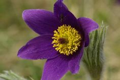 *25 Violet Anemone Pulsatilla vulgaris Purple Pasque Flower Seeds | eBay