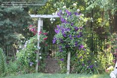 Full size picture of Clematis 'Jackmanii Superba' (Clematis)