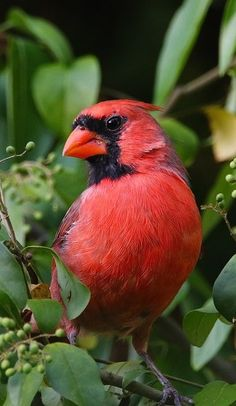 One of the most identifiable birds on the North American continent is the northern cardinal.