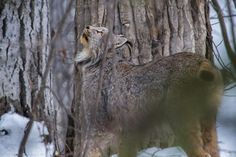 Famous Amos Photography     The Male Lynx looking up tree at a female Lynx — in Grande Prairie, Alberta.
