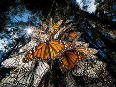 Mexico to see the yearly Monarch Butterfly migration Photograph by Joel Sartore, National Geographic Wow Photo, Photo Animaliere, Butterflies Flying, Beautiful Butterflies, Beautiful Bugs, Hello Beautiful, Naturally Beautiful, Monarch Butterfly Migration, Butterfly Species