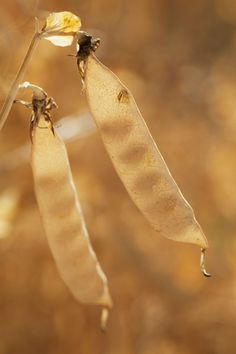 How to collect seeds from dry-seeded plants, such as peas and beans, for next year's harvest. | Photo: ©Design Pics Inc./Alamy | thisoldhouse.com