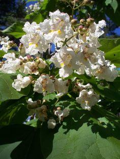 Flowers on my catawba tree.