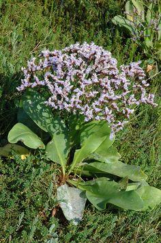 Limonium vulgare (Common Sea-lavender / Lamsoor) 0738