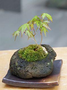 小品盆栽:Mini-Bonsai