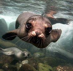 Otarie au large des îles Galapagos / Source : © Sandro Lonardi, National Geographic