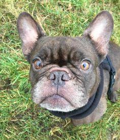Sac Animal Details English Bulldogs Animals Dogs Terrier