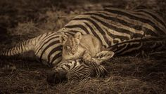 An extraordinary shot from Chitabe in the Okavango Delta! According to photographer Duncan Scott, this cub was was a pride of four females and four cubs; the females had eaten and were sleeping when the little cubs started playing around...