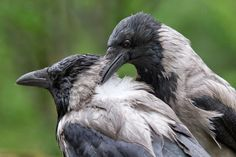 A Pair of Hooded Crows by Harri Sulonen