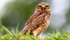 A rare owl killed in New Mexico last month has pushed federal authorities to step up efforts to protect the endangered species. The rare bur Burrowing Owl, Barred Owl, Santa Fe National Forest, Police Patrol, New Mexican, Endangered Species, Bird Watching, Mexico, Owls