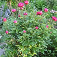 Types of Peonies - care and planning website.  Great tips and info.