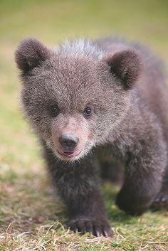 Baby Bear Cub walks up to the Camera for a closer look . so precious - but, where's Mama bear? Baby Bear Cub, Bear Cubs, Baby Bears, Grizzly Bears, Tiger Cubs, Tiger Tiger, Bengal Tiger, Teddy Bears, Nature Animals