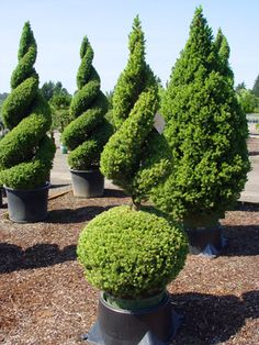Topiary Trees and Shrubs | Topiaries, Poodle Tier, Ponpom, Spirals, Topiary