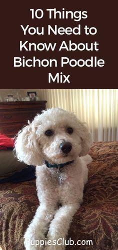 Bichon Poodle Mix, Poodle Mix Breeds, Poodle Cuts, Poodle Grooming, Cute Dogs Breeds, Bichon Frise, Dog Breeds, Pet Dogs For Sale, Poochon Dog