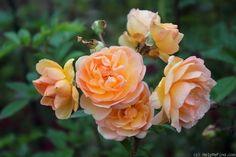 'Ghislaine de Féligonde ' Rose Photo by Margarita @ HelpMeFind
