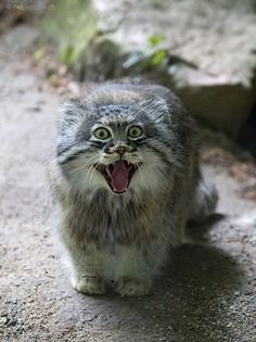 Felis Manul, Manul Cat, Cute Baby Cats, Kittens Cutest, Cats And Kittens, Animals And Pets, Cute Animals, Pallas's Cat, Small Wild Cats
