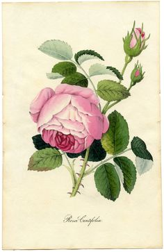 Vintage Printable Botanical Rose. This is another rare Botanical Print Circa 1828 by G. Spratt.