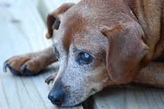 Dementia and anxiety in your older dog – What you can do. | A Path With Paws