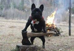 """that Tree was buggin' me"", a Wood Chopping French Bulldog"