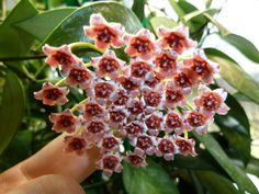Hoya memoria; A small Hoya vine that easy to grow and flowers for long periods, giving off a caramel/butterscotch fragrance in the day, musty at night. Hates wet feet - needs very well drained soil.