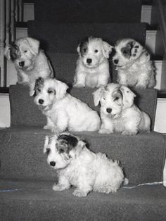 Sealyham puppies