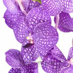 FiftyFlowers.com - Purple Bicolor Vanda Orchid Flower, 12 stems (4-6 blooms per stem) for $180. I'm not excited about price, but orchids seem pricey. Vanda purple and phalaenopsis purple are a little different...