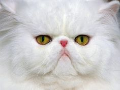 Persian has the characteristics of a round face and short muzzle. This cat comes from the highlands of Iran. Recognized by the cat fancy since the late 19th century, it was first developed by the Home, and then mainly by American Breeders after the Second World War. In Britain, it is Called the Longhair or Persian Longhair.