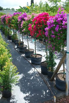 31 Pretty Front Door Flower Pots For A Good First Impression – Bougainvillea tree – tropical garden ideas Landscaping Plants, Front Yard Landscaping, Garden Trees, Trees To Plant, Potted Trees, Bougainvillea Trellis, Garden Trellis Panels, Tropical Garden, Tropical Plants