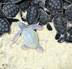 Beautiful and incredibly rare baby albino sea turtle 🐢 - Experts say albino green turtle hatchlings occurred at a rate of one in many hundreds of thousands ! The Animals, Baby Animals Pictures, Cute Animal Pictures, Baby Animals Super Cute, Cute Little Animals, Cute Funny Animals, Cute Baby Turtles, Pics Of Turtles, Turtle Baby