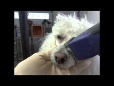"""How to Shave a #poodle Face starring """"Lucky"""""""