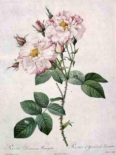 Redouté, Pierre Joseph - Rosa damascena variegata (...