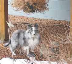 Ian - little cutie! Shetland Sheepdog Sheltie • Adult • Male • Small Minnesota Sheltie Rescue Circle Pines, MN