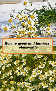 How to grow and harvest chamomile for teas and other herbal products. How to grow and harvest chamomile for teas and other herbal products.