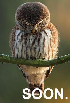 20 Hilariously Adorable Owl Memes