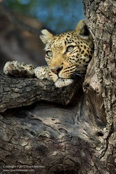 *Leopard Resting Place by Grant Atkinson