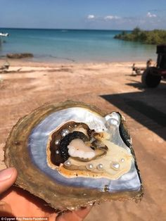 A rare discovery of 10 pearls in a single oyster shell found on an Australian pearl farm. Australian Pearls, Seashells, Starfish, Drops In The Ocean, Royal Jewels, Ancient Jewelry, Underwater World, Pearl Studs, Cultured Pearls