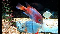 Omega One Fish Food The Best? [Caution Colorful Fish] Aquarium Fish Tank Colorful Fish, Tropical Fish, Goldfish Food, Aquarium Fish Food, Fishing Videos, One Fish, Fish Recipes, Omega, Food Online