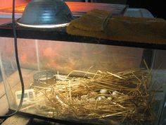 High Lonesome Homestead: Build a homemade still-air incubator for quail, chickens, ducks