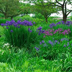 Siberian Irises.  Plant beneath the drain spout.  (Siberian Irises like wet feet; bearded irises don't.)