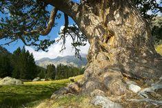 Un arbre espectacular al Parc Nacional d'Aigüestortes, al Pirineu català (Catalunya - Catalonia)