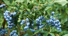 Blueberry Plant, Blueberry Bushes, Growing Blueberries, Frozen Blueberries, Freezing Blueberries, Freezing Fruit, Highbush Blueberry, Fruit Bushes, Flowers