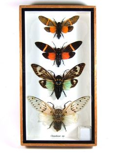 4 cicada real butterfly insect bug taxidermy display in framed box gift gpasy 5