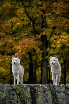 gorgeous white wolves